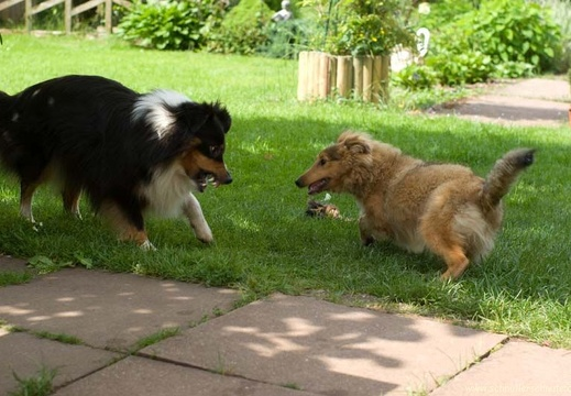 sheltie-team-12