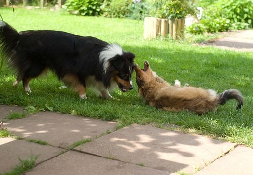 sheltie-team-10